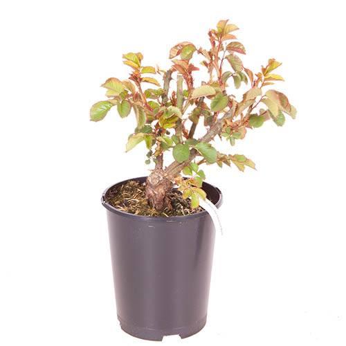 Premium Rose The Churchill Rose in 3L Pot