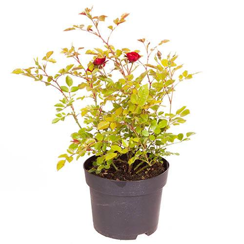 Polyantha Rose The Fairy Red
