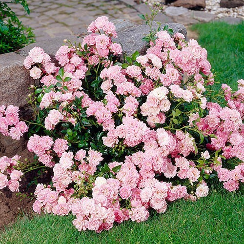 Polyantha Rose The Fairy Pink