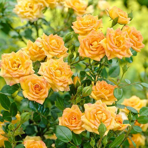 Polyantha Rose The Fairy Yellow