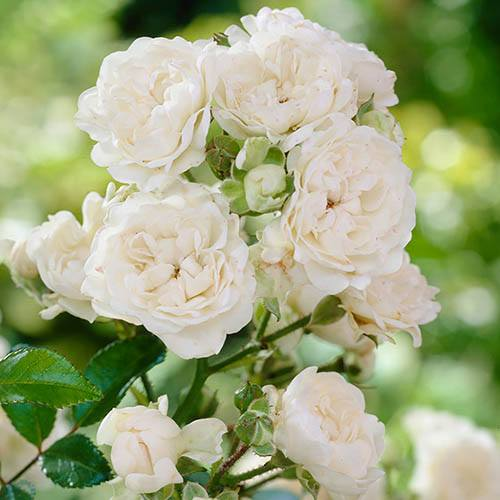 Polyantha Rose The Fairy White