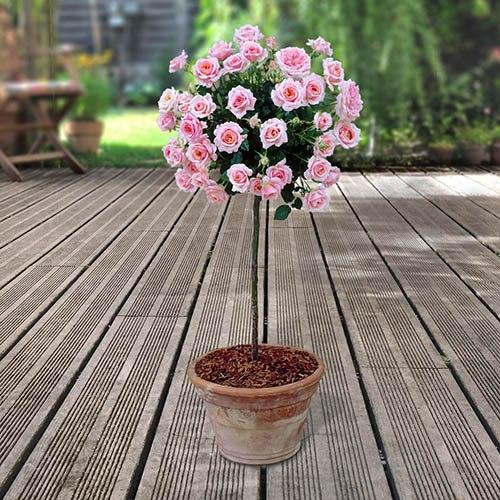 Patio Rose Graciously Pink Half Standard