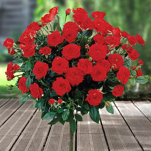 Pair of Patio Half Standard Roses - Red