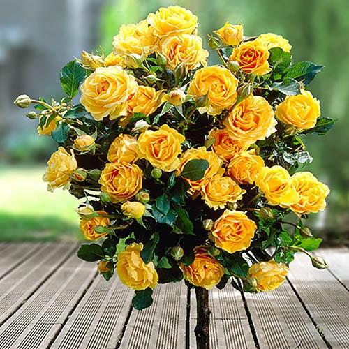 Pair of Patio Half Standard Roses - Yellow