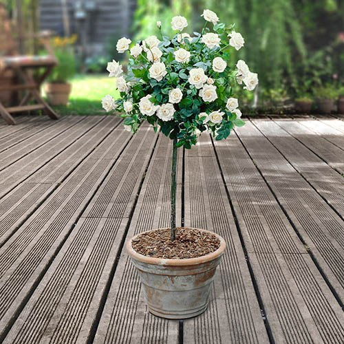 Pair of Patio Half Standard Roses - White