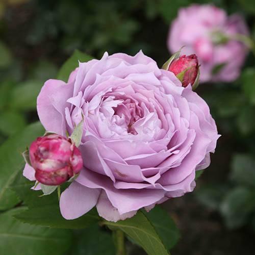 Rose Novalis Premium Bare Root Bush