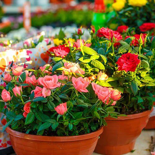 Pack of 6 Grande Kordana Roses