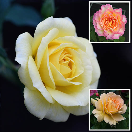 National Parks Rose Collection x 3