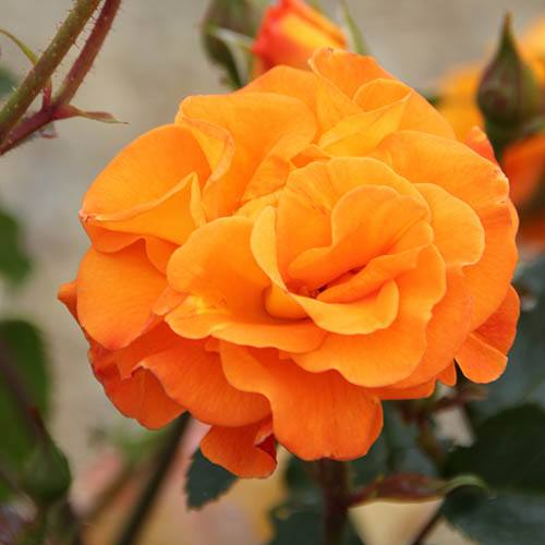 Rose Precious Amber