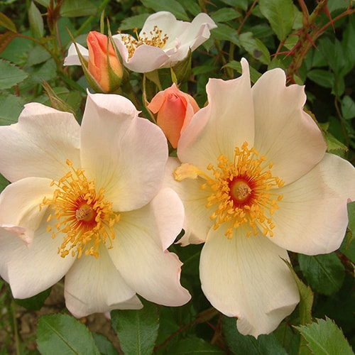 Climbing Rose Keith Maughan