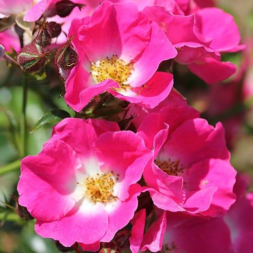 Climbing Rose American Pillar