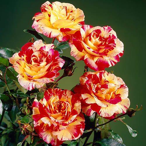 Rose Camille Pissaro