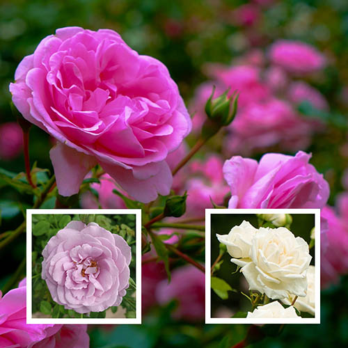 Trio of Edible Roses White, Pink and Purple