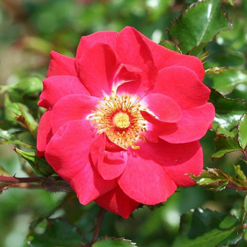 Climbing Rose Olympic Flame