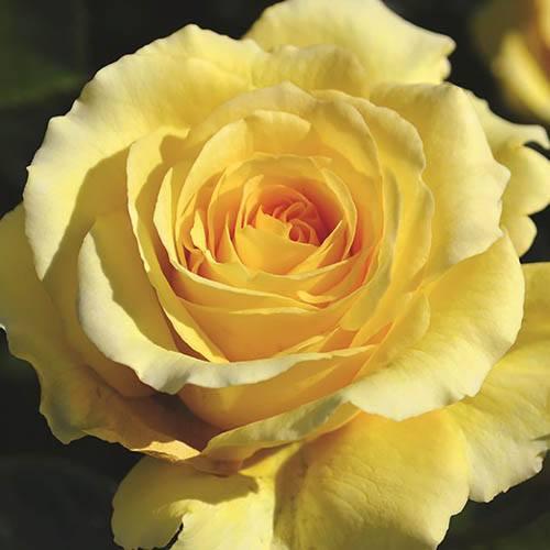 Climbing Rose Sommergold