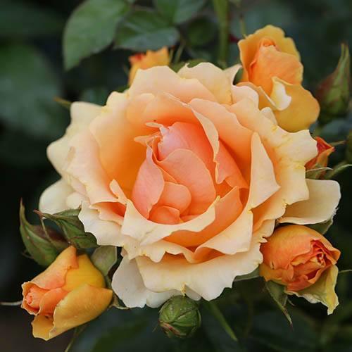 Rose Queen Bee