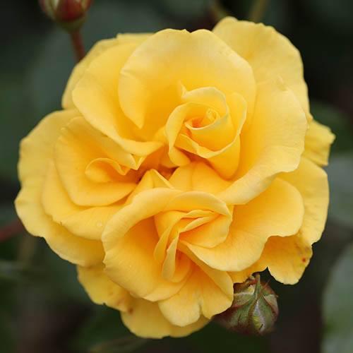 Rose Precious Gold