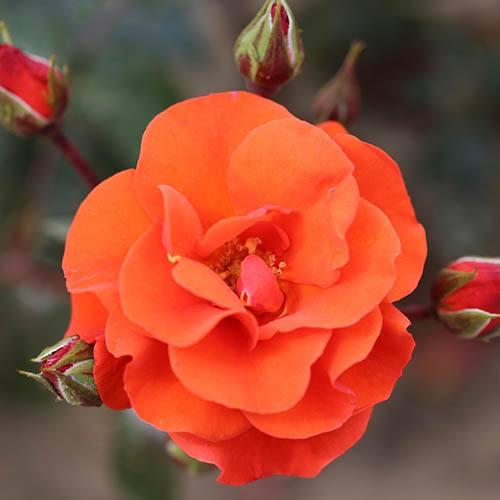 Rose Precious Love