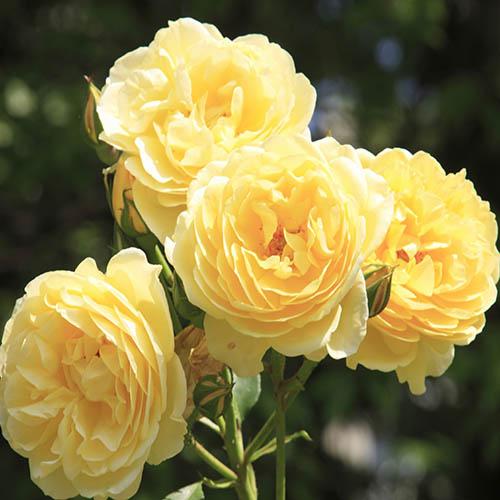 ROTY 2021 Rose Belle de Jour