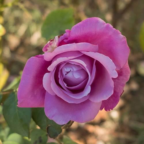 Patio Rose Harry Edland