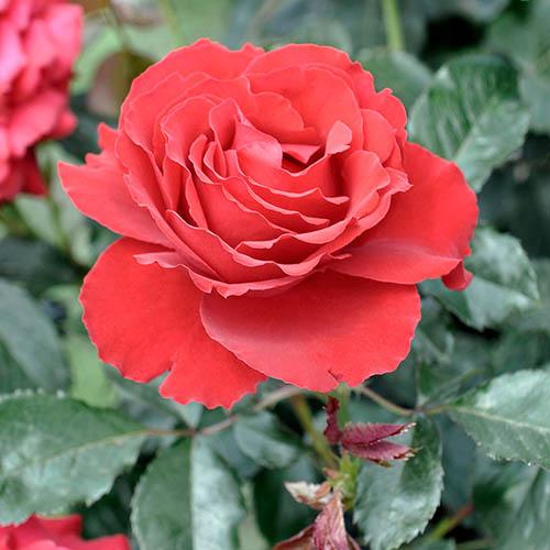 Patio Rose Carris