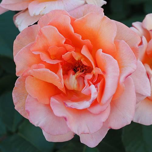 Rose Fragrant Delight