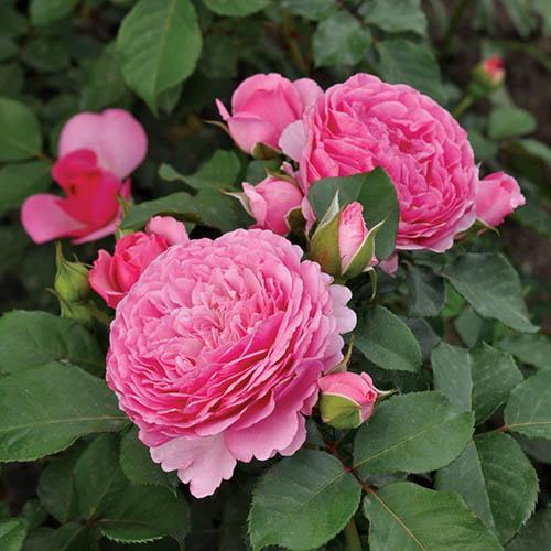 Rose Mileva Frayla