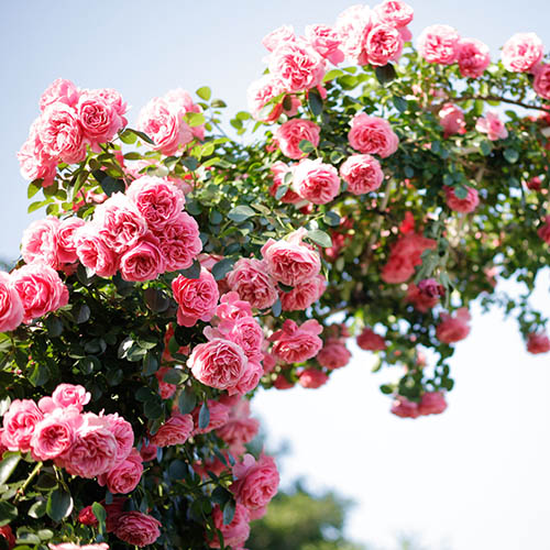 Rose Climbing Blossomtime