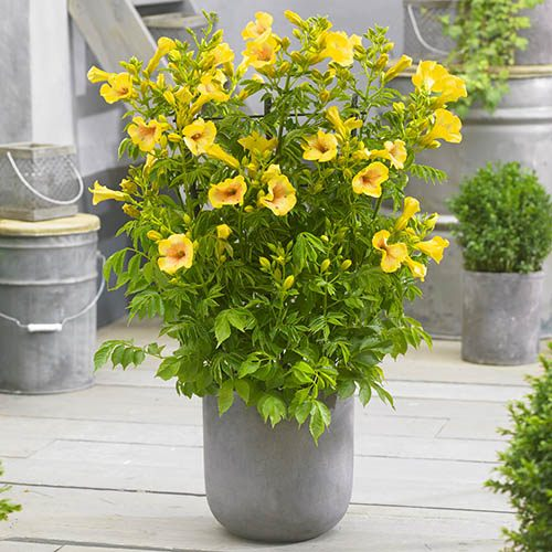 Patio Campsis Yellow Trumpet