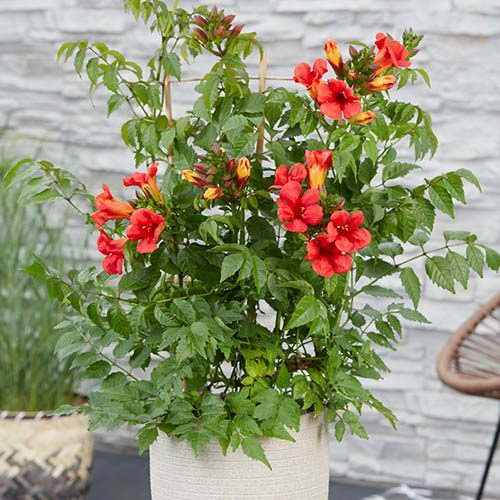 Patio Campsis Red Trumpet