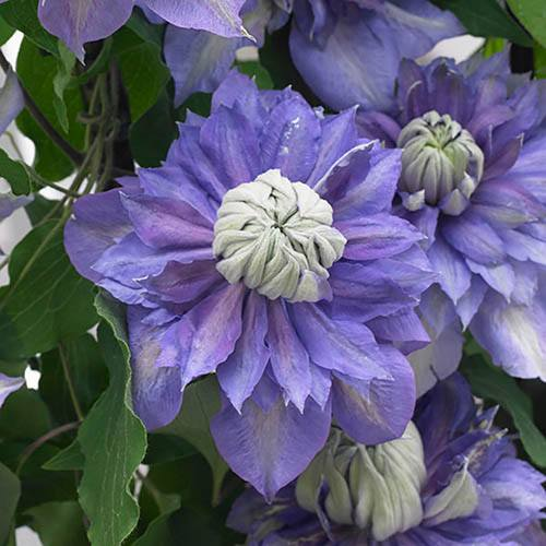 Premium Double Clematis Diamantina