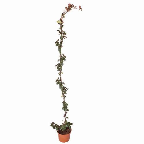 Star Jasmine Trachelospermum jasminoides