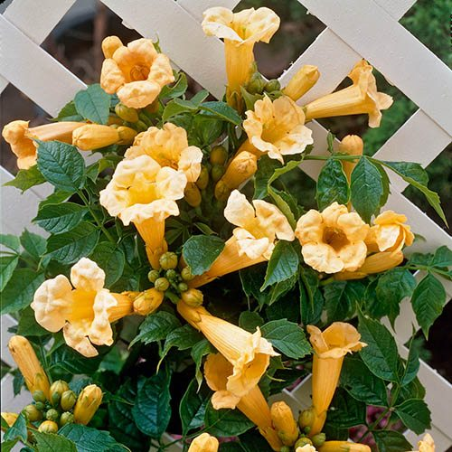 campsis trumpet vine collection 3 plants. Black Bedroom Furniture Sets. Home Design Ideas