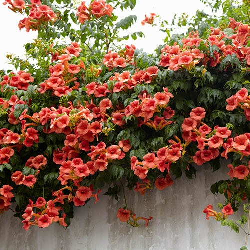 Campsis Summer Jazz Trumpet Vine collection - 3 plants