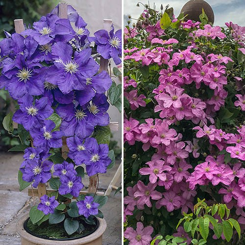 Pair of Patio Clematis, Blue & Pink on Trellis