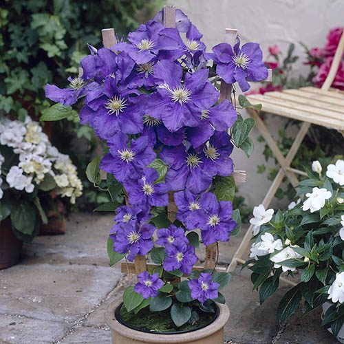Pair Boulevard Patio Clematis