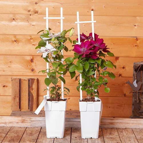 Pair Boulevard Patio Clematis - Red & White