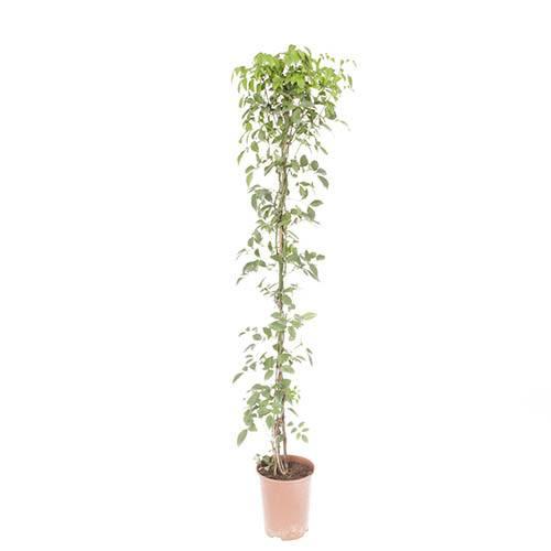 Bower Vine Pandorea jasminoides
