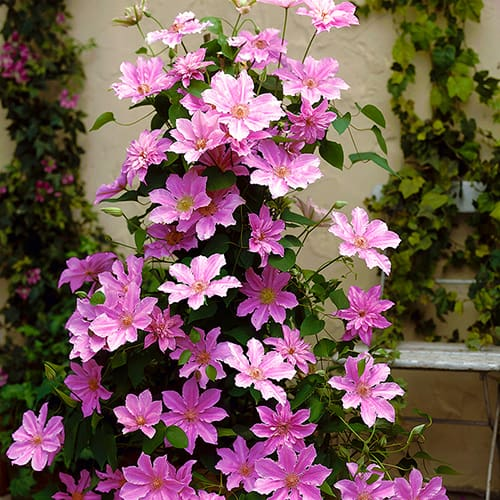 Acropolis(TM) Boulevard(R) Evipo078(N) Patio Clematis Collection