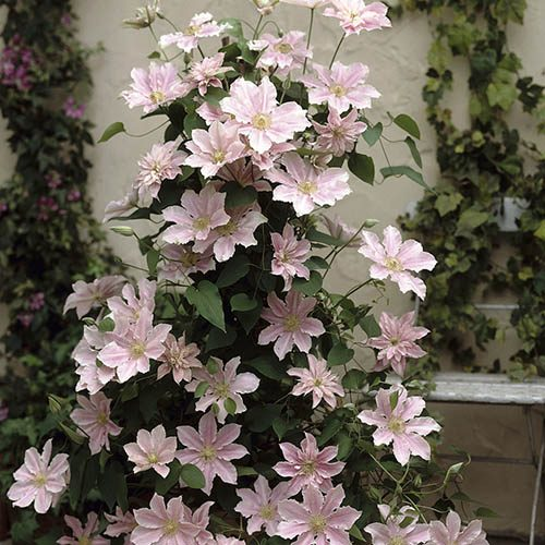 Boulevard Patio Clematis Pair on 60cm Trellis