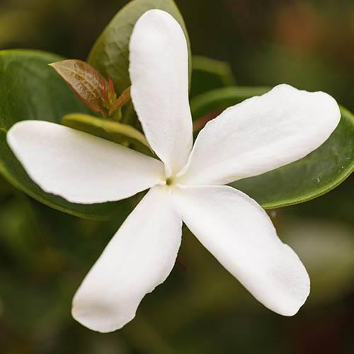 Jasmine azoricum Lemon Scented Jasmine