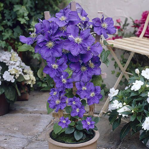 Patio Clematis Blue, Acropolis(TM) Boulevard(R) Evipo078(N) Series, Large 5L 23cm Pot