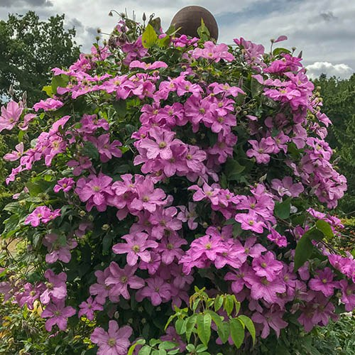 Patio Clematis Pink, BOULEVARD(R) Series, Large