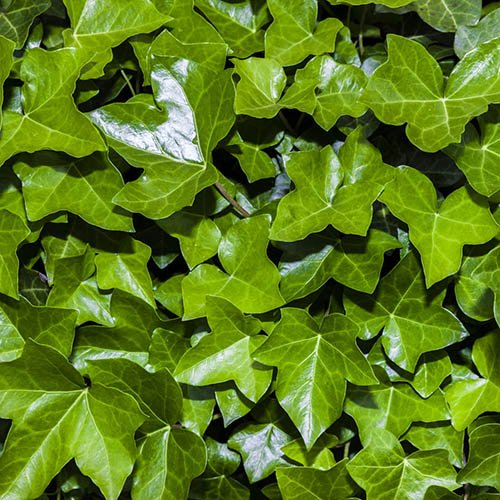 Coloured Ivies - pack of 12  x 6cm