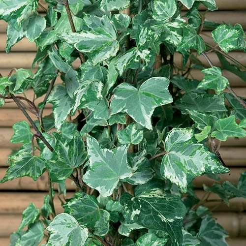 Coloured Ivies - pack of 12  x 6cm pots