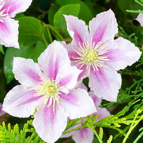 Clematis Hybrid Pink