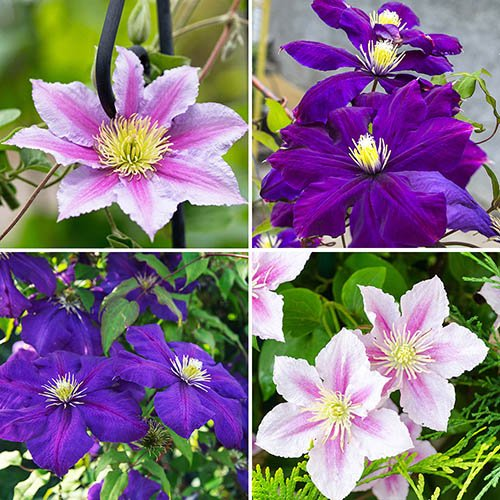 Pair of Large Flowered Clematis