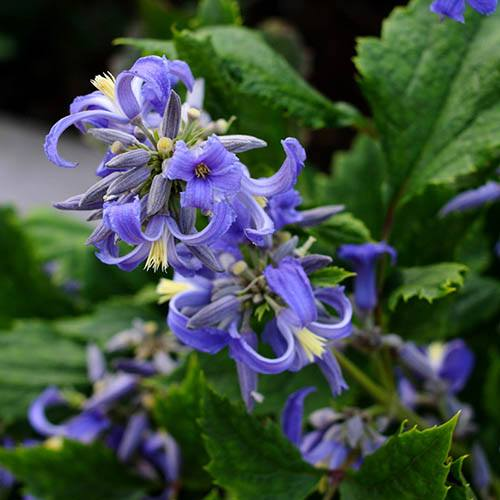 Clematis heracleifolia New Love