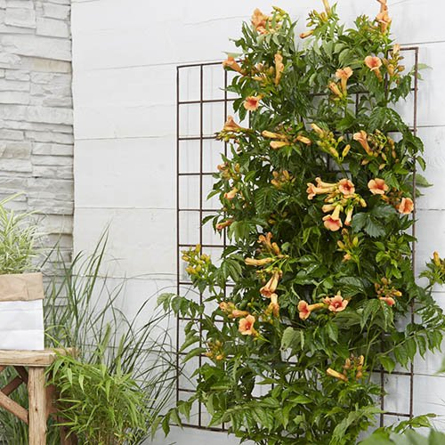 Pair Campsis Indian Summer 2L on trellis