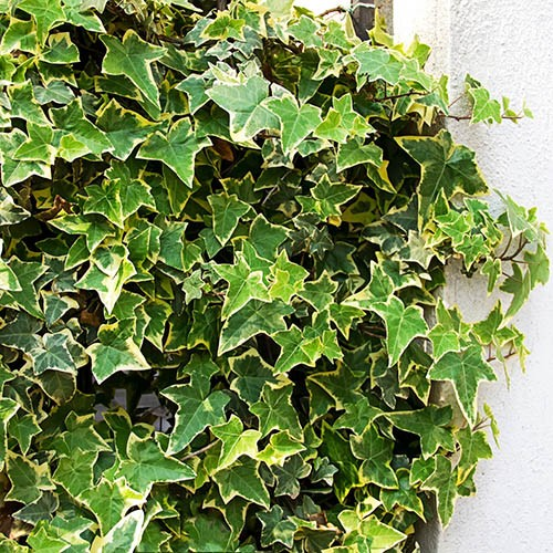 Hedera Glacier 2L pot 1M tall